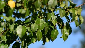 Pear tree branch with leaves on the wind in. The summer stock video