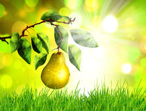 Pear on tree branch Stock Image