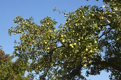 Pear tree - Branch of a pear tree Stock Images