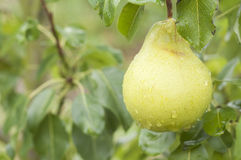 Pear on tree branch with rain drops and green leaves Stock Photo