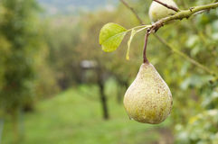 Pear on tree branch with raindrops Stock Images