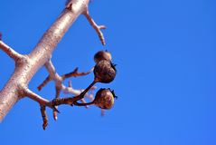 Pear tree branch with small black dry fruits close up detail, winter in garden, bright blue sky. Background royalty free stock photos