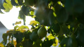 Pear tree branch sunlight glare beautiful video nature. Pear tree branch sunlight glare beautiful nature stock video