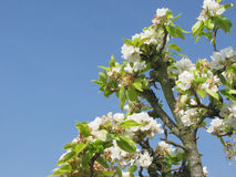 Pear tree branches with blossoms Royalty Free Stock Photography