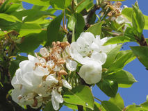 Pear tree branches with blossoms Stock Photos