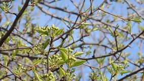 Pear tree branches with buds of flowers. Branch of pear tree with buds flowers, selective focus stock footage