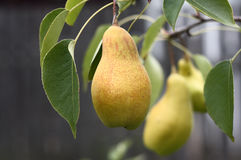 Pear. Royalty Free Stock Photo