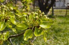 Pear tree buds Royalty Free Stock Photos