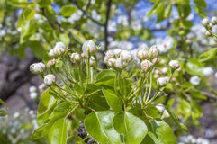 Pear tree buds Royalty Free Stock Photography