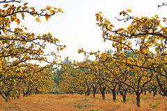 Pear tree. Chinas rural pear tree planting stock image