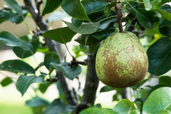 Pear on tree Royalty Free Stock Images