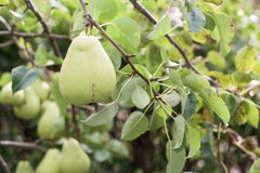Pear on tree Stock Photo