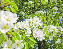 Pear tree with flowers Stock Images