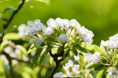 Pear tree flowers Stock Images