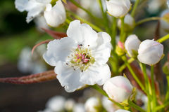 Pear tree flowers and buds Royalty Free Stock Image
