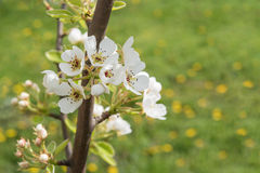 Pear tree flowers Royalty Free Stock Image