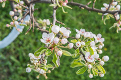Pear tree flowers Stock Photos