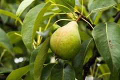 Pear on the tree. Fresh pear on the tree Royalty Free Stock Photography