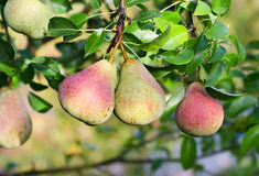 Pear tree. Fresh fruits Stock Image