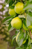 Pear Tree. Fresh and ripe green pears hang from the branch at an orchard, waiting to be picked Royalty Free Stock Photo