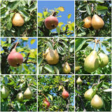 Pear tree fruit collage Stock Images