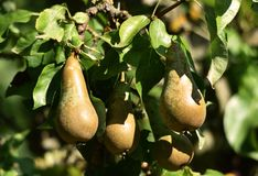Pear tree in fruit. Conference pears on a pear tree in August in an orchard in the UK stock photography