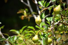 Pear Tree Fruiting royalty free stock photos