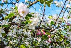 Pear tree Royalty Free Stock Image