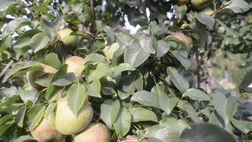 Pear tree fruits. Pear tree full of ripening fruits by summer evening stock video footage