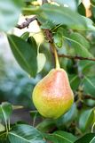 Pear on tree Stock Images