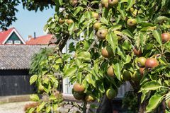 Pear tree in a garden in the Frisian village of Hindeloopen in. The Netherlands Stock Photo