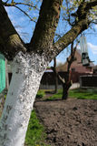 Pear tree in the garden Stock Photography