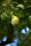 Pear tree. Green pear on a tree Royalty Free Stock Photography