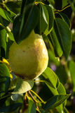 Pear on a tree. Green pear on a pear tree Stock Images
