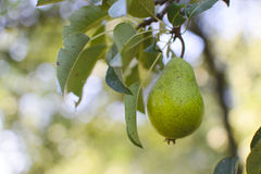 Pear on a tree Royalty Free Stock Image