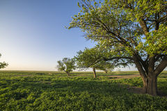 Pear tree in green field. In the village stock photography