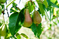 Pear tree with green pears. Pear tree in a garden. Summer fruits garden. Green pears on the tree. Crop of pears. Green pears in th Stock Image