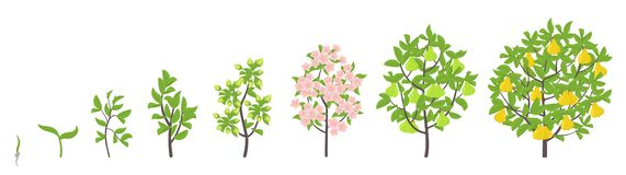 Pear tree growth stages. Vector illustration. Ripening period progression. Pear fruit tree life cycle animation plant seedling. Pear tree growth stages royalty free illustration