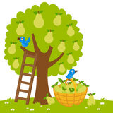 Pear tree harvesting Stock Image