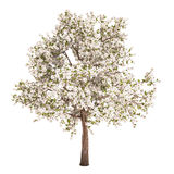 Pear Tree Isolated. On white Stock Images