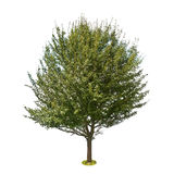 Pear tree isolated on white background Stock Photos