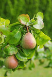 Pear tree with its fruit during summer season in Carinthia, Aust. Closeup of a Pear tree with its fruit during summer season in Carinthia, Austria Stock Photos