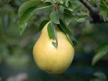 Pear on a tree Stock Images