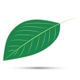 Pear tree leaf Stock Photo