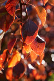 Pear tree leaves in fall Stock Images