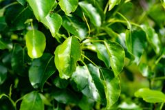 Pear tree leaves. Gorgeous juicy greens. Green life