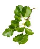 Pear Tree Leaves Stock Photo