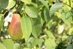 Pear tree. Stock Photo