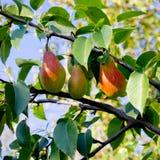 Pear tree. Stock Photography