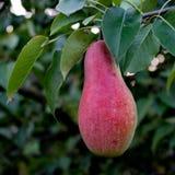 Pear tree. Royalty Free Stock Photography